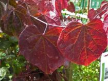 ABR910_A, arbre au feuillage caduc rouge pourpre au printemps puis vert pourpré en été et orangé en automne. Fleurs rose violine avant l\'apparition des feuilles et fruits en gousses brunes.