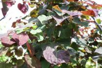 Cercis canadensis \'Ruby Falls\'