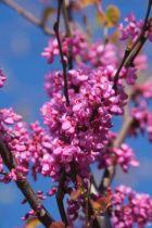 IMG_5699, arbre caduc au feuillage vert et aux fleurs roses violine en été.
