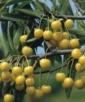 Cerisier jaune de doenissens