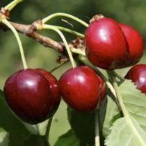 Cerisier \'Bigarreau Cœur de Pigeon\', arbre fruitier caduc à feuille verte et aux fruits rouge clair en été.
