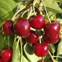 Cerisier \'Bigarreau Hatif de Burlat\', arbre fruitier caduc à feuille verte et aux fruits rouge vif en été.