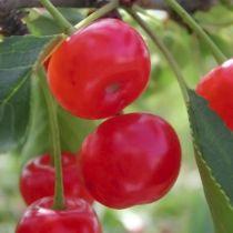 Cerisier \'Bigarreau Montmorency\', arbre fruitier caduc à feuille verte et aux fruits rouge clair en été.
