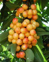 Cerisier \'Bigarreau Rainier\'