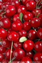 Cerisier \'Griotella\'® frumi - Prunus* cerasus