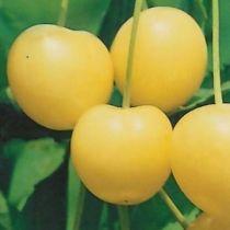 Cerisier \'Stark Gold\', arbre fruitier caduc à feuille verte et aux fruits jaune en été.
