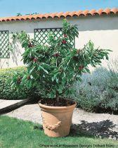 Cerisier Garden Bing® - Prunus* cerasus