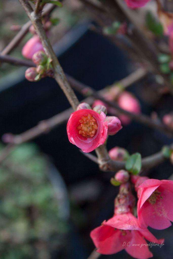 Chaenomeles* speciosa  \'Rubra Grandiflora\'