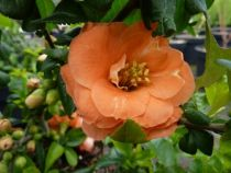 chaenomeles cameo, arbuste caduc à floraison saumon orangé en mars-avril suivi de coings comestibles.