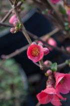 Chaenomeles speciosa \' Rubra Grandiflora \'