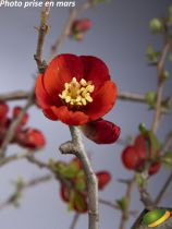 Chaenomeles x superba \'Crimson and Gold\'