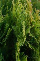 Chamaecyparis lawsoniana \' Minima Glauca \', conifère nain compact en boule au feuillage persistant vert bleuté.