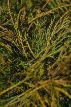 Chamaecyparis pisifera filifera