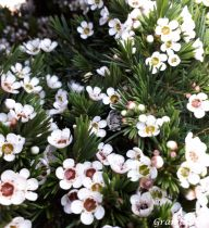 Chamelaucium uncinatum - Fleur de Cire