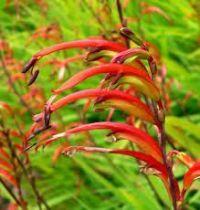 Chasmante floribunda
