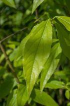 Chimonanthus praecox, arbuste à feuillage caduc vert et à floraison jaune en hiver, parfumée.
