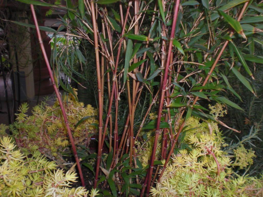 Bambou chimonobambusa marmorea