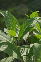Chionanthus Virginicus, arbuste caduc au feuillage vert et aux fleurs blanches en panicules en juin, parfumées.