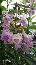 Chitalpa* tashkentensis \'Pink Dawn\'