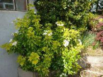 choysia sundance, arbuste persistant au feuillage doré, verdissant en été et à la floraison blanche parfumée au printemps.