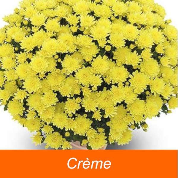 CHRYSANTHEME* Coupe 27  1 bouture