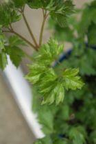 Cimicifuga simplex \'  White Pearl \', vivace à feuille caduc vert foncé et aux fleurs blanche en été.