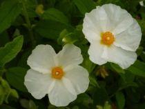 Cistus hirsutus, arbuste persistant vert foncé et floraison blanc à coeur jaune au printemps.