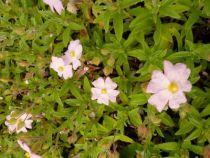 Cistus parviflorus, arbuste persistant vert à floraison rose clair au printemps.