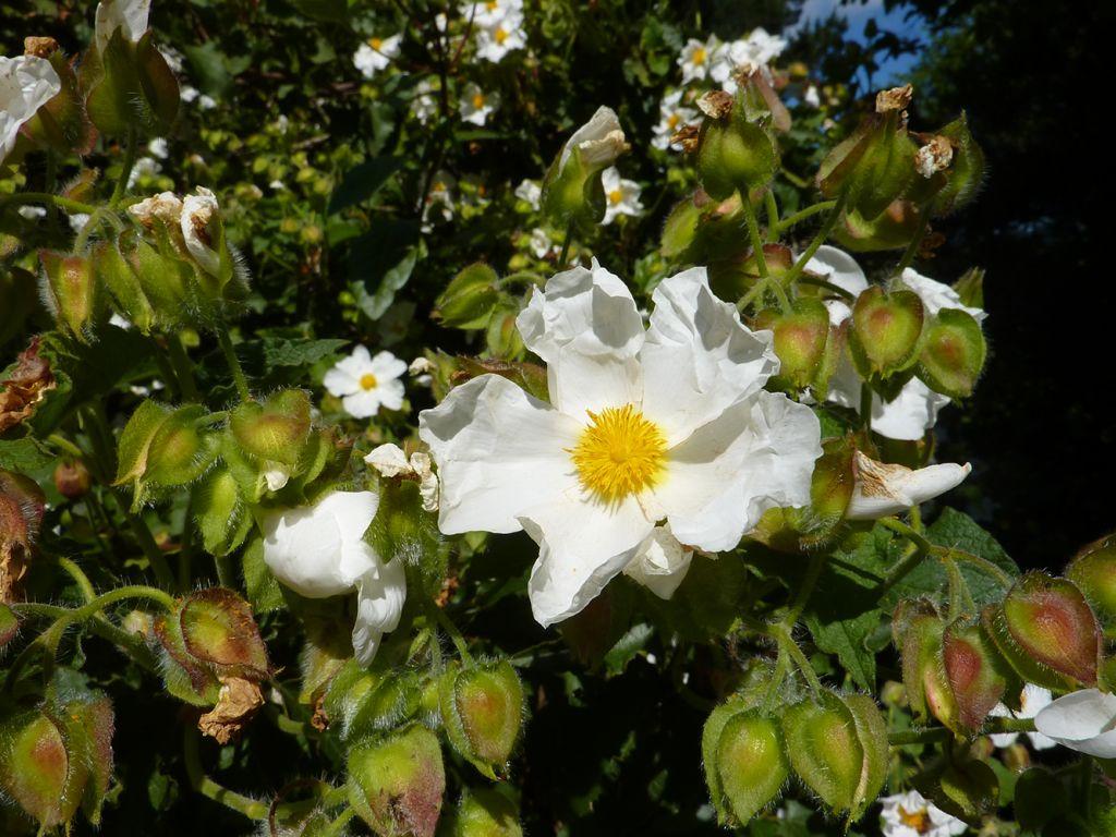 Cistus populifolius, arbuste persistant au feuillage vert et à la floraison blanche maculé de jaune au printemps.