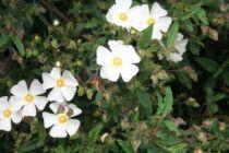 cistus salvifolius, arbuste persistant vert au fleurs blanches simples au printemps.