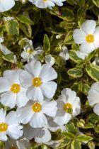 Cistus x corbariensis \'Little Miss Sunshine\'