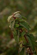 Cistus x corbariensis