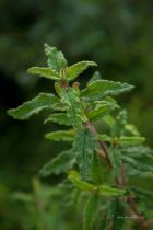 Cistus x florentinus, arbuste à port compact plutôt étalé, au feuillage persistant vert et à la délicate floraison blanche au printemps.