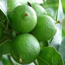 Citrus* - LIME vert