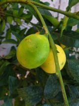 Citrus* aurantifolia x fortunella - Limequat