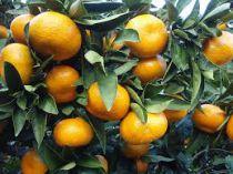 Citrus* deliciosa \'Satsuma\' - Mandarinier