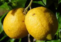 Citrus* Limetta Pursha - Lime Douce de Rome