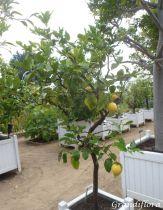 Citrus* limon - Citronnier