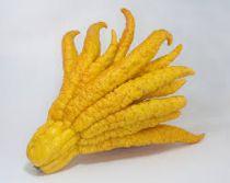 Citrus* limon \'Main de boudha\' - Cédrat