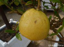 Citrus* medica - Cédratier