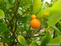Citrus* mitis - Calamondin