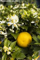 Citrus* myrtifolia Chinois - Mandarinier