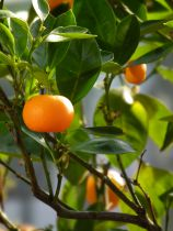 Citrus* reticulata - Mandarinier
