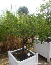 Citrus* sinensis - Oranger