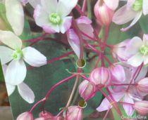 Clematis armandi \'Apple blossom\'