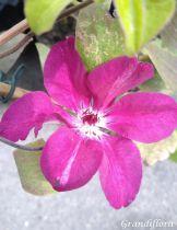 Clématis fleurie
