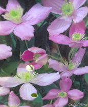 Clematis montana \'Fragrant Spring\'