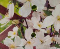 Clematis montana \'Grandiflora\'