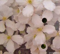 Clematis montana \'Sponeeri\'
