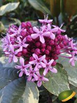 Clerodendron bungei \'Pink Diamond\'